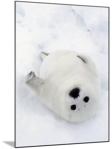 Harp Seal, Pup in Favorite Position on Its Back on Ice Pack, Nova Scotia, Canada-Daniel J. Cox-Mounted Photographic Print