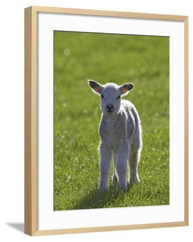 New-Born Lamb in Spring, Scotland-Mark Hamblin-Framed Art Print