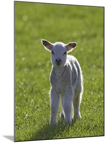 New-Born Lamb in Spring, Scotland-Mark Hamblin-Mounted Photographic Print