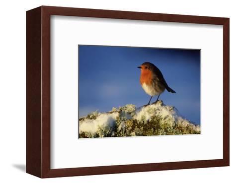 Robin, Perched on Branch in Snow, Scotland, UK-Mark Hamblin-Framed Art Print