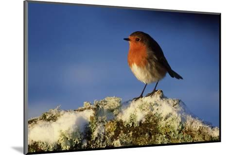 Robin, Perched on Branch in Snow, Scotland, UK-Mark Hamblin-Mounted Photographic Print