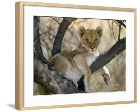 African Lion, Cub, Botswana-Mark Hamblin-Framed Art Print