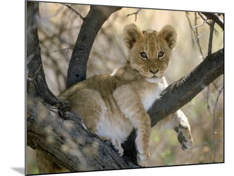 African Lion, Cub, Botswana-Mark Hamblin-Mounted Photographic Print