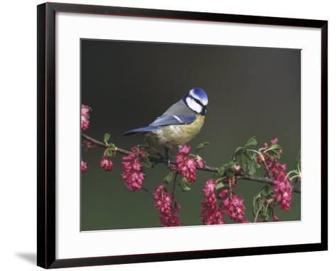 Blue Tit, Perched on Wild Currant Blossom, UK-Mark Hamblin-Framed Art Print