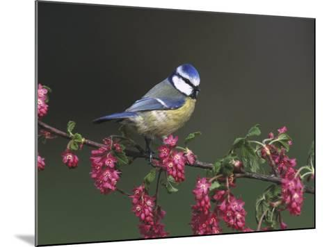 Blue Tit, Perched on Wild Currant Blossom, UK-Mark Hamblin-Mounted Photographic Print