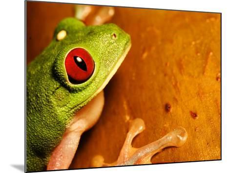 Red-Eyed Tree Frog, Close-up of Head and Front Feet, Costa Rica-Roy Toft-Mounted Photographic Print