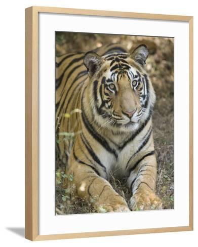 Bengal Tiger, Portrait of Male Tiger, Madhya Pradesh, India-Elliot Neep-Framed Art Print