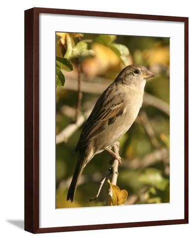 House Sparrow, Male Perching, Middlesex-Elliot Neep-Framed Art Print