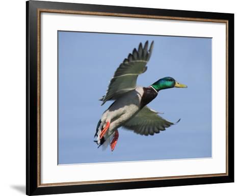Mallard in Flight, Lake Geneva, Switzerland-Elliot Neep-Framed Art Print