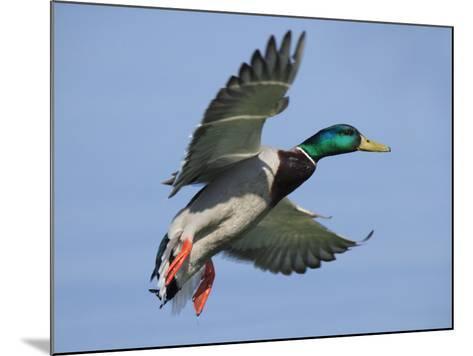 Mallard in Flight, Lake Geneva, Switzerland-Elliot Neep-Mounted Photographic Print