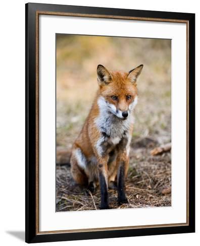 Red Fox, Sitting in Pine Needles, Lancashire, UK-Elliot Neep-Framed Art Print