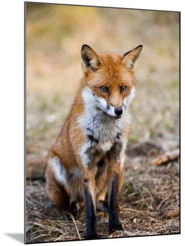 Red Fox, Sitting in Pine Needles, Lancashire, UK-Elliot Neep-Mounted Photographic Print