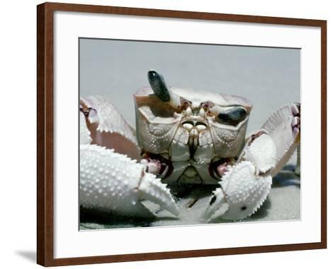 Crab, Shows Independent Eye Movement-Victoria Stone & Mark Deeble-Framed Art Print