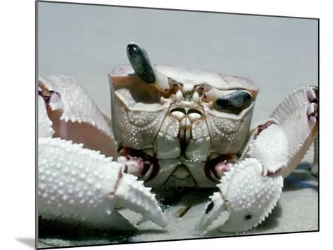 Crab, Shows Independent Eye Movement-Victoria Stone & Mark Deeble-Mounted Photographic Print