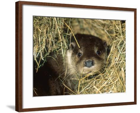 Otter in Straw, Aylesbury, UK-Les Stocker-Framed Art Print