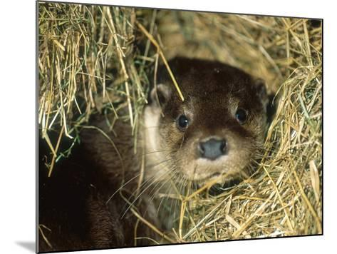 Otter in Straw, Aylesbury, UK-Les Stocker-Mounted Photographic Print