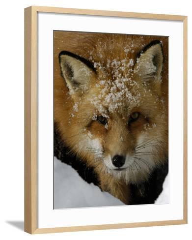 Red Fox, Winter, USA-Daniel J. Cox-Framed Art Print