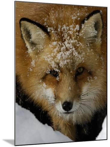 Red Fox, Winter, USA-Daniel J. Cox-Mounted Photographic Print