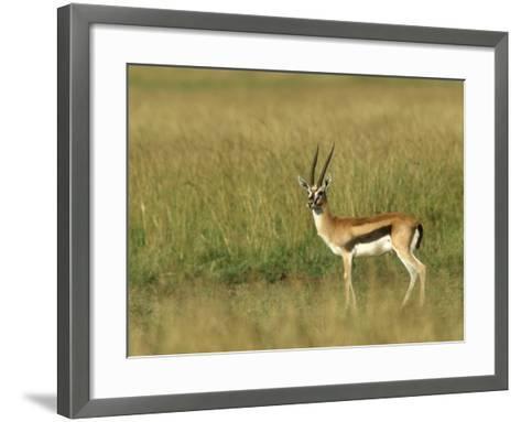 Thompsons Gazelle, Masai Mara NR, Kenya-Steve Turner-Framed Art Print