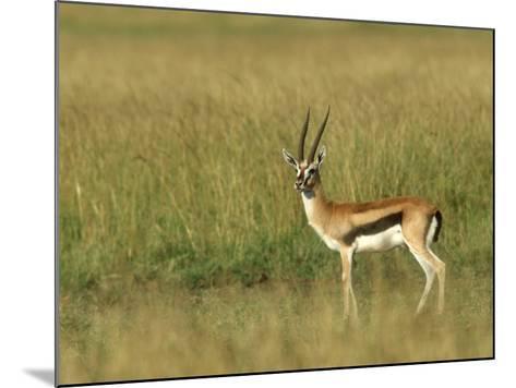 Thompsons Gazelle, Masai Mara NR, Kenya-Steve Turner-Mounted Photographic Print