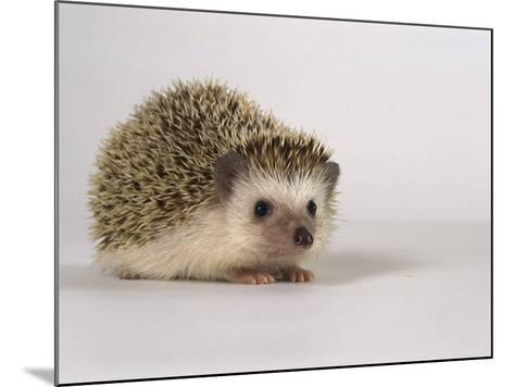 Four-Toed Hedgehog-Les Stocker-Mounted Photographic Print