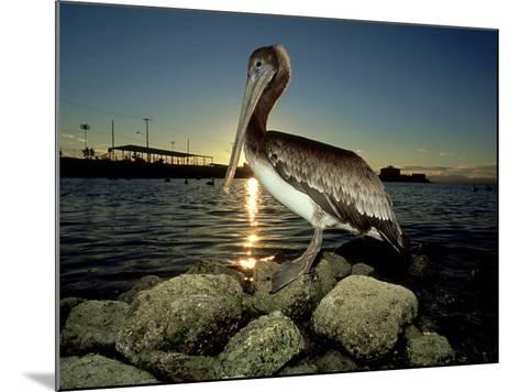 Brown Pelican, Baja California, Mexico-Tobias Bernhard-Mounted Photographic Print
