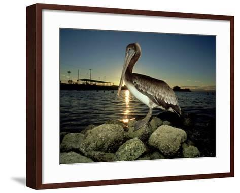 Brown Pelican, Baja California, Mexico-Tobias Bernhard-Framed Art Print