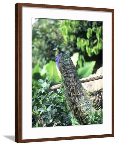 Javan Green Peafowl, Zoo Animal-Stan Osolinski-Framed Art Print