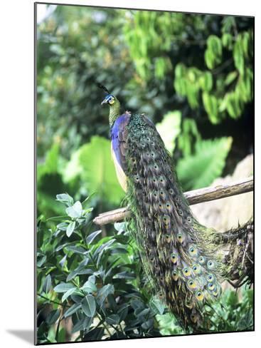 Javan Green Peafowl, Zoo Animal-Stan Osolinski-Mounted Photographic Print