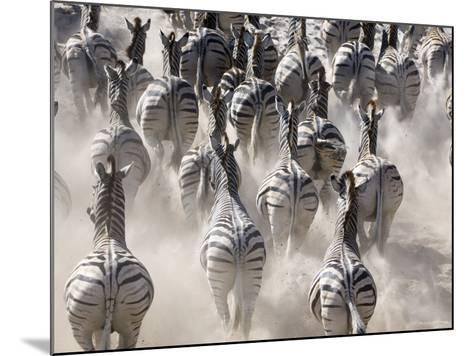 Burchells Zebra, Group Running in Dust, Botswana-Mike Powles-Mounted Photographic Print