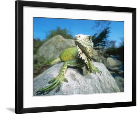 Green Iguana in Stream-Side Natural Habitat, Lambayeque Province, Peru-Mark Jones-Framed Art Print