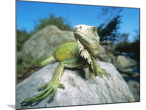 Green Iguana in Stream-Side Natural Habitat, Lambayeque Province, Peru-Mark Jones-Mounted Photographic Print