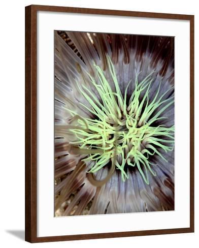 Sea Anemone, Komodo, Indonesia-Mark Webster-Framed Art Print