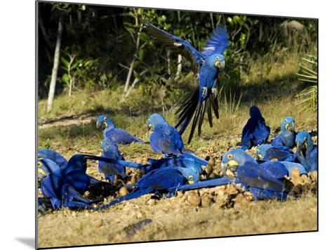 Hyacinth Macaws, Flock of Parrots Eating Brazil Nuts, Brazil-Roy Toft-Mounted Photographic Print