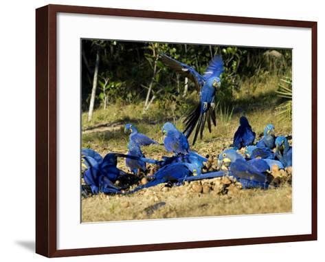 Hyacinth Macaws, Flock of Parrots Eating Brazil Nuts, Brazil-Roy Toft-Framed Art Print