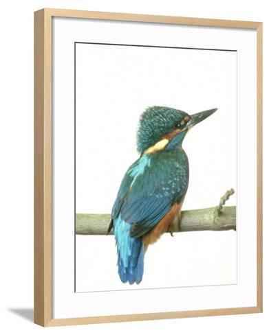 Kingfisher, Aylesbury, UK-Les Stocker-Framed Art Print