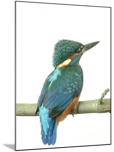 Kingfisher, Aylesbury, UK-Les Stocker-Mounted Photographic Print