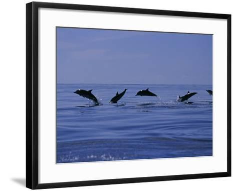 Striped Dolphins, Porpoising, Azores, Portugal-Gerard Soury-Framed Art Print