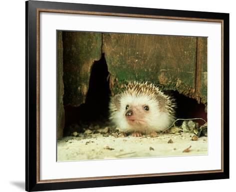 Four-Toed Hedgehog, England, UK-Les Stocker-Framed Art Print
