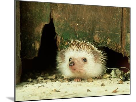 Four-Toed Hedgehog, England, UK-Les Stocker-Mounted Photographic Print