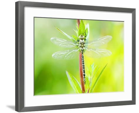 Common Hawker, Newly Emerged Male on Plant, UK-Mike Powles-Framed Art Print