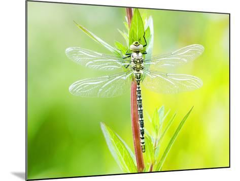 Common Hawker, Newly Emerged Male on Plant, UK-Mike Powles-Mounted Photographic Print