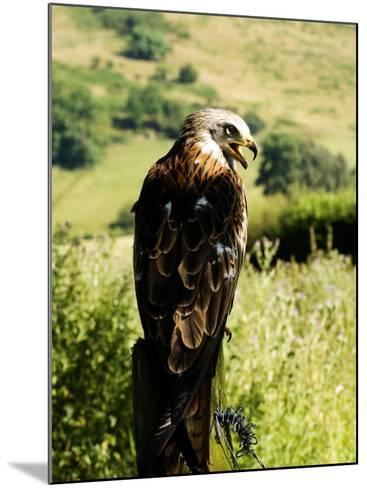Red Kite, Adult Overlooking Countryside, UK-Mike Powles-Mounted Photographic Print