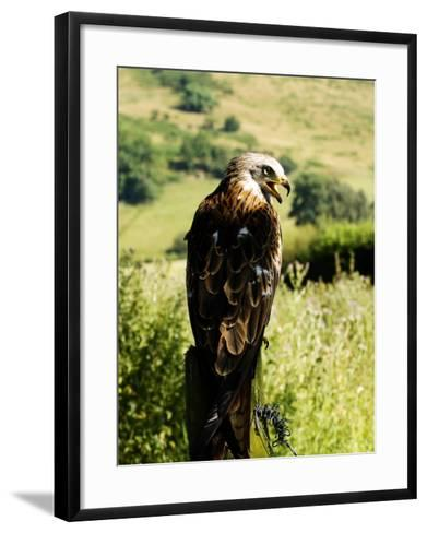 Red Kite, Adult Overlooking Countryside, UK-Mike Powles-Framed Art Print