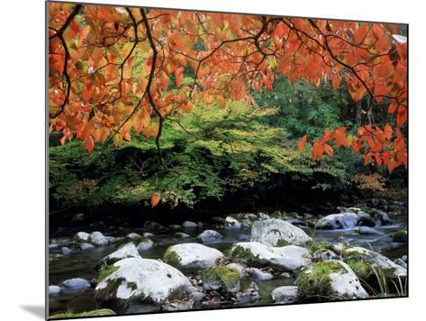 Dogwood in Fall Colour Over Middle Prong of Little River, USA-Willard Clay-Mounted Photographic Print