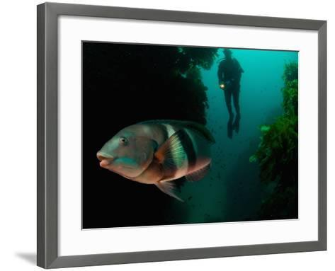 Sandagers Wrasse and Diver, New Zealand-Tobias Bernhard-Framed Art Print