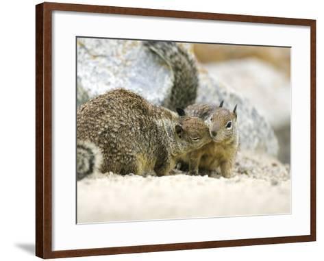 Beecheys Ground Squirrel, Squirrels Greeting, California, USA-David Courtenay-Framed Art Print