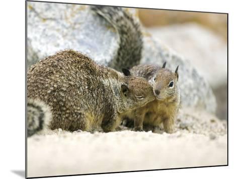 Beecheys Ground Squirrel, Squirrels Greeting, California, USA-David Courtenay-Mounted Photographic Print
