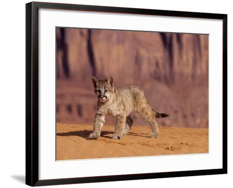 Mountain Lion, Portrait of Young Cub, USA-Daniel J. Cox-Framed Art Print