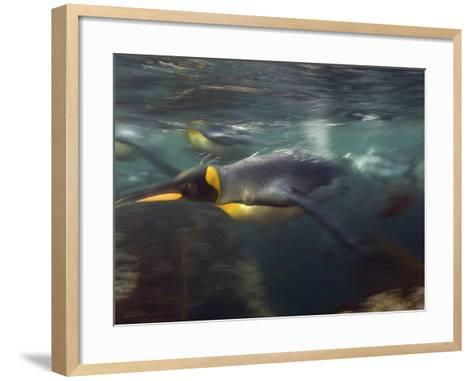 King Penguin, Underwater, Sub Antarctic-Tobias Bernhard-Framed Art Print